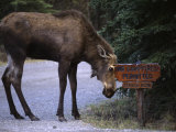 Moose Says No to Tourism Photographic Print by Michael S. Quinton