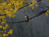 Red-Tailed Hawk in Grand Teton National Park in the Fall Photographic Print by National Geographic Photographer