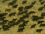 Aerial View of a Herd of African Buffalo (Syncerus Caffer) Photographic Print by Beverly Joubert
