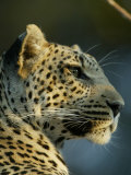 Close-up of Leopard Photographic Print by Beverly Joubert