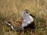 Dunlin Sandpiper, Calidris Alpina, on its Nest on the Tundra Photographic Print by Joel Sartore
