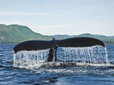 Humback Whale Diving with Tail Flukes Raised into the Air Fotografie-Druck von James Forte