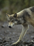 Gray Wolf, Alaska Photographic Print by Michael S. Quinton