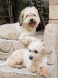 Town of Copan Ruinas, Honduras Two White Dogs on Step Photographic Print by Richard Nowitz