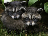 Pair of Raccoons under a Porch Photographic Print by Randy Olson