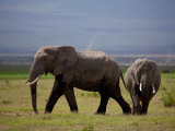 African Elephants on a Green Grassland with Dust Devils in Background Photographic Print by Beverly Joubert