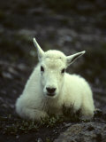 Mountain Goat Kid, Age Two Months, Lives in the Roughest Landscape Photographic Print by Michael S. Quinton