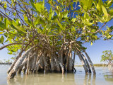 Mangrove Near Calosa Key in Everglades National Park, Florida Photographic Print by Michael Melford