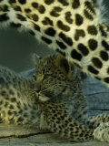 Leopard Cub Lying Down Photographic Print by Beverly Joubert