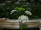 Queen Anne's Lace Wildflowers Next to a Fallen Aspen Tree Photographic Print by Raul Touzon