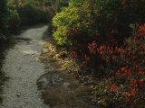 Gravel Path Through Shrubs and Low Vegetation Photographic Print by Raymond Gehman