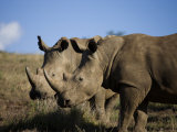 Pair of White Rhinoceros on Borana Ranch Photographic Print by Michael Nichols