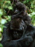 Female Mountain Gorilla and Her Child Photographic Print by Michael Nichols
