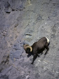 Bighorn Ram Negotiates Rough Terrain in its Prefered Habitat Photographic Print by Michael S. Quinton