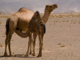 Wild Baby Camel Drinks Milk from His Mother Photographie par Abraham Nowitz