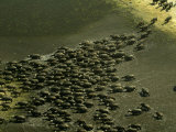 Aerial View of African Buffalo (Syncerus Caffer)Running Through Water Photographic Print by Beverly Joubert