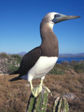 Booby Stands on a Sharp Cactus Photographic Print by Nick Norman