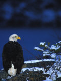 American Bald Eagle Photographic Print by Nick Norman