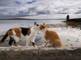 Two Cats Greet on a Wall Overlooking the Bay in Shapinsay Fotografiskt tryck av Jim Richardson