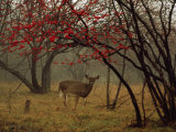 White-Tailed Deer Doe in a Foggy Forest Clearing in Autumn Photographic Print by Raymond Gehman