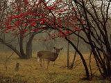 White-Tailed Deer Doe in a Foggy Forest Clearing in Autumn Impressão fotográfica por Raymond Gehman
