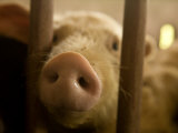 Close Up of the Nose of a Domestic Pig in a Pen Photographic Print by Beverly Joubert