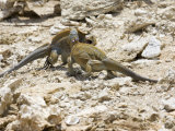 Two Endangered White Cay Iguanas in Territorial Confrontation Photographic Print by Roy Toft