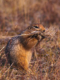 Arctic Ground Squirrel Carrying a Pile of Grass Photographic Print by Nick Norman