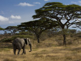 African Elephant Walks Among Acacia Trees Photographic Print by Ralph Lee Hopkins
