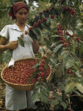 Woman Picks Ripe Red Coffee Berries, Leaving Green Ones to Ripen Photographic Print by Luis Marden