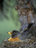 Robin Incubating Eggs, Alaska Photographic Print by Michael S. Quinton