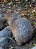 Capybara, the World's Largest Rodent Photographic Print by Darlyne A. Murawski