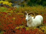 Dall Sheep Ram Moves Thru the Colorful Willows and Brush in Alaska Photographic Print by Michael S. Quinton