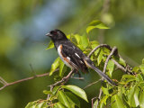 Male Eastern Towhee, Pipilo Erythrophthalmus, Perched on a Branch Photographic Print by George Grall
