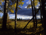 Aspens in the Wrangell Mountains Photographic Print by Michael S. Quinton