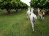Three Llamas Walking on a Wooded Field Photographic Print by Raul Touzon