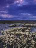 Saxifrage on the Open Tundra Photographic Print by Nick Norman