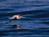 Brown Pelican in Flight over Water Photographic Print by Tim Laman