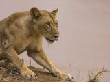 Alert Lioness Photographic Print by Michael Nichols