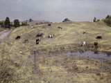 Herd of Dairy Cows Graze in a Pasture Photographic Print by Clifton R. Adams