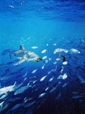 Great White Shark Hunting a Large School of Sardines Photographic Print by James Forte