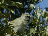 Monkey Sits in a Tree Photographic Print by Beverly Joubert
