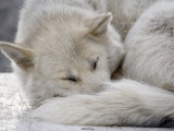 Sleeping Seld-Dog Photographic Print by Pete Ryan