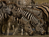 Group Burchell's Zebras at a Watering Hole Photographic Print by Beverly Joubert