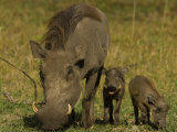 Warthog and Her Two Piglets Foraging for Food Photographic Print by Beverly Joubert