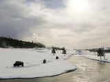 Three Bull Bison Graze Through the Snow in Yellowstone National Park Photographic Print by Drew Rush