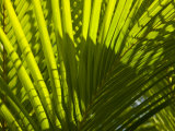 Close Up Detail of a Coconut Palm Frond Photographic Print by Beverly Joubert