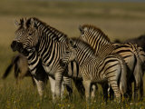Group Burchell's Zebras Including Juveniles Photographic Print by Beverly Joubert