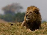 Portrait of a Resting Male African Lion, Panthera Leo Fotografisk trykk av Beverly Joubert