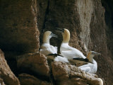 Adult Gannets Rest on their Cliffside Perch in a Rookery Photographic Print by Jack Fletcher